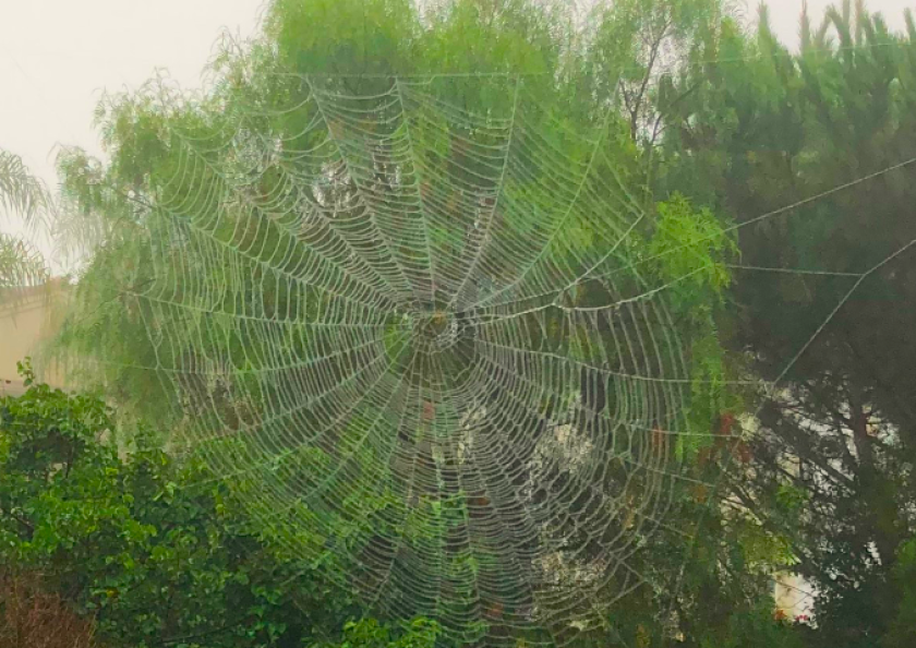 Orb weaver spiders are spinning out huge webs across San Diego County