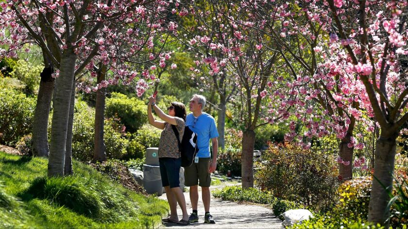 2558458_sd_me-cherry_blossoms_xol_NL San Diego, CA March 9, 2017 Wendy and Steve Kenney (cq) of Ple