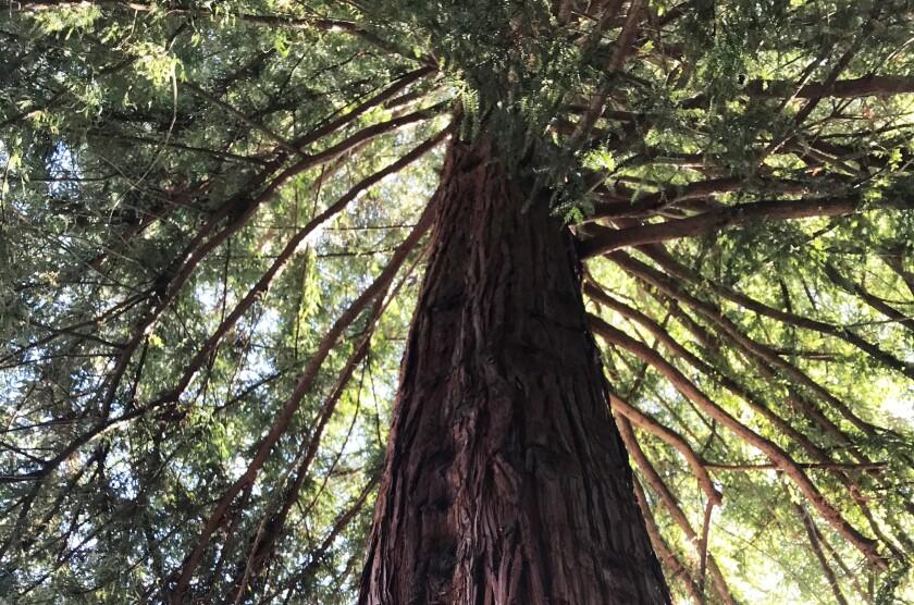 Monterey's moon tree