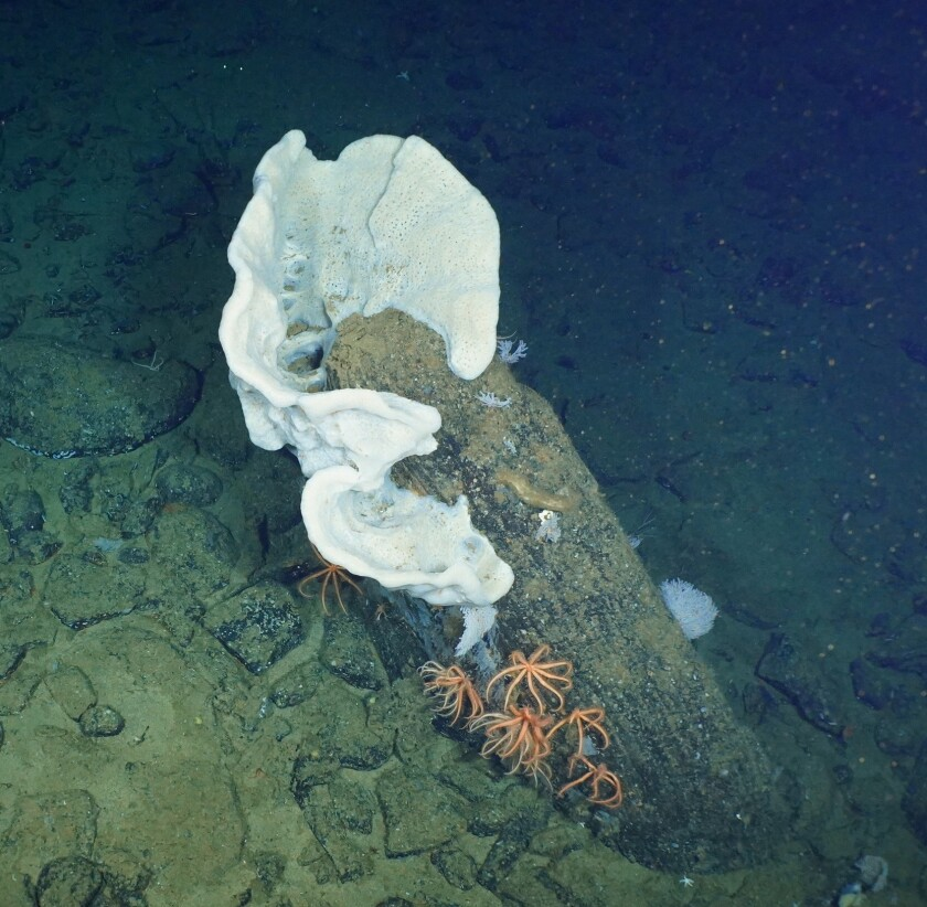 A giant sponge and brisingid asteroids (starfish) are seen during a Scripps Institution of Oceanography research trip.