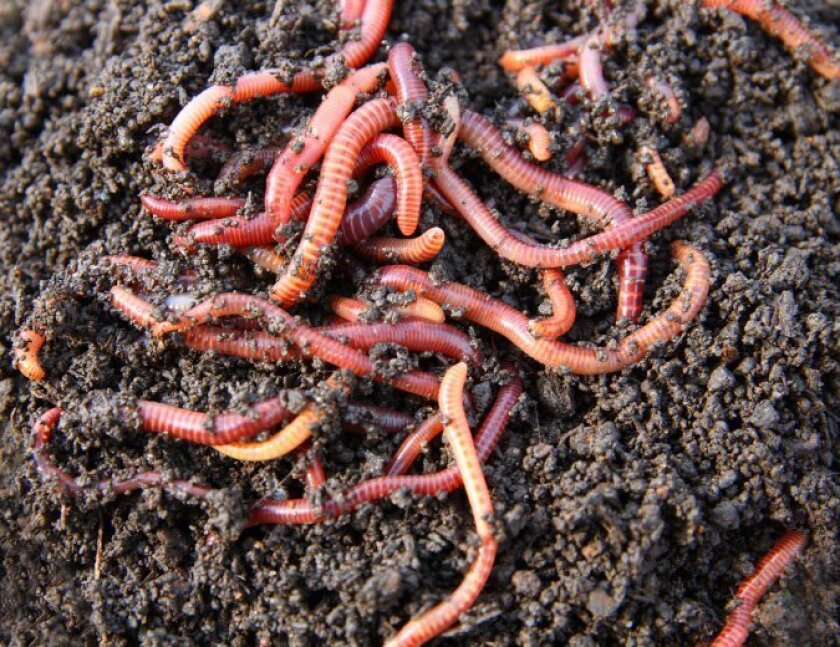 Red wigglers are the ideal worms for composting, because they thrive on decomposing vegetation.