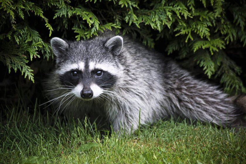 Raccoons digging up new sod? Try netting, patience and