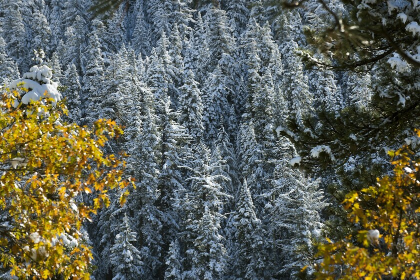 Snow collects on the trees along U.S. 50 in El Dorado County on Nov. 10 east of Sacramento. The Sierra Nevada received up to 16 inches of snow on Tuesday.