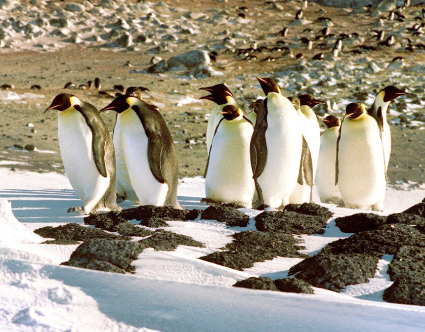 Penguins, infamous food gulpers, may be unable to taste many things