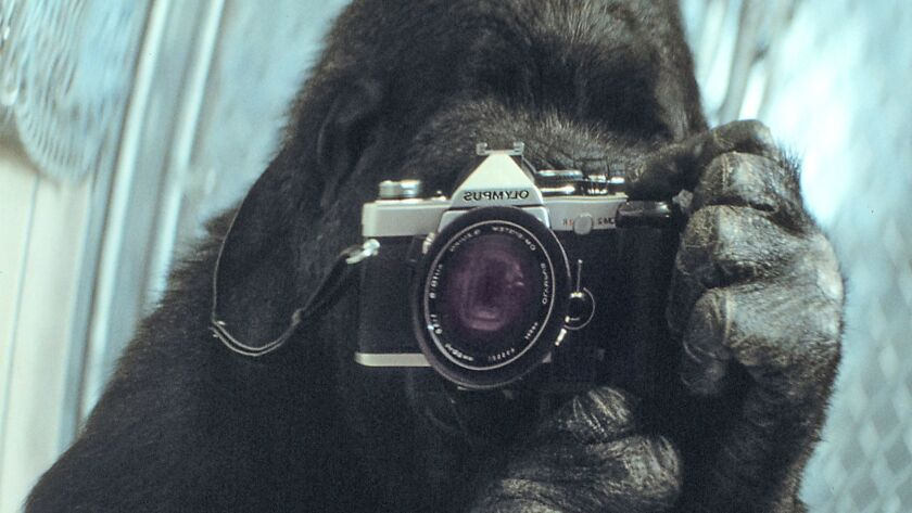 Koko takes a photo of herself in the mirror. This picture appeared on the cover of National Geographic magazine.