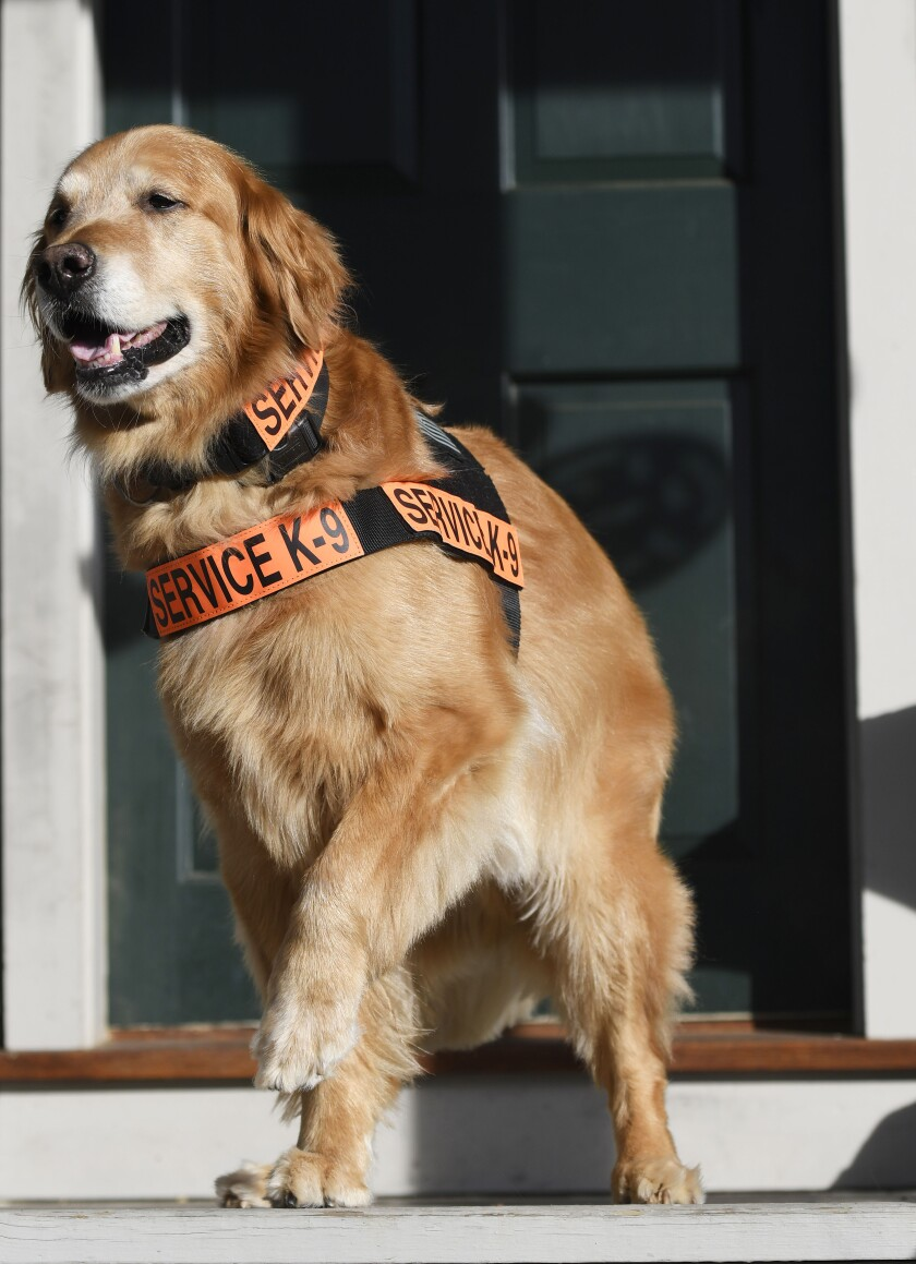 In this Dec. 16, 2016 photo, Tuesday, a golden retriever, poses in Bethel, Conn. Tuesday gained fame as a service dog and was the subject of several books written by Luis Carlos Montalvan, an Iraq War veteran who credited the dog with helping him deal with post traumatic stress disorder. Tuesday died Monday, Sept. 23, 2019, in Burlington, Conn. (Cyrus McCrimmon/Educated Canines Assisting with Disabilities via AP)