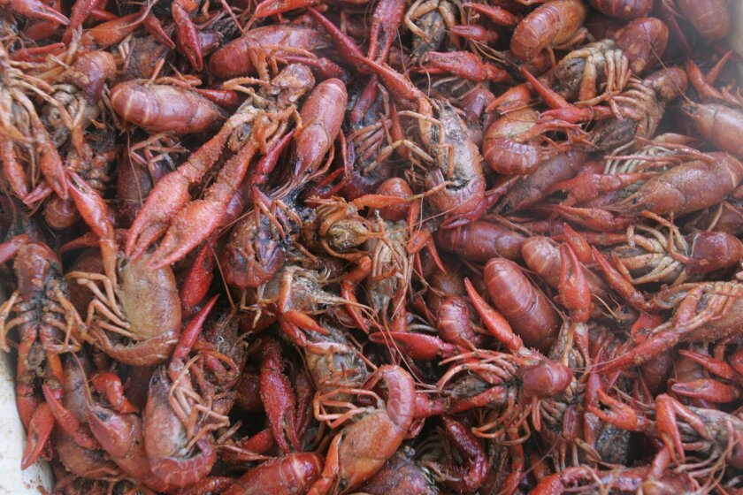 10,000 pounds of crawfish are being trucked in from Louisiana for Gator By The Bay.