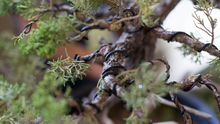 Wire is used to train a bonsai tree at Bowers Museum in Santa Ana Sept. 2