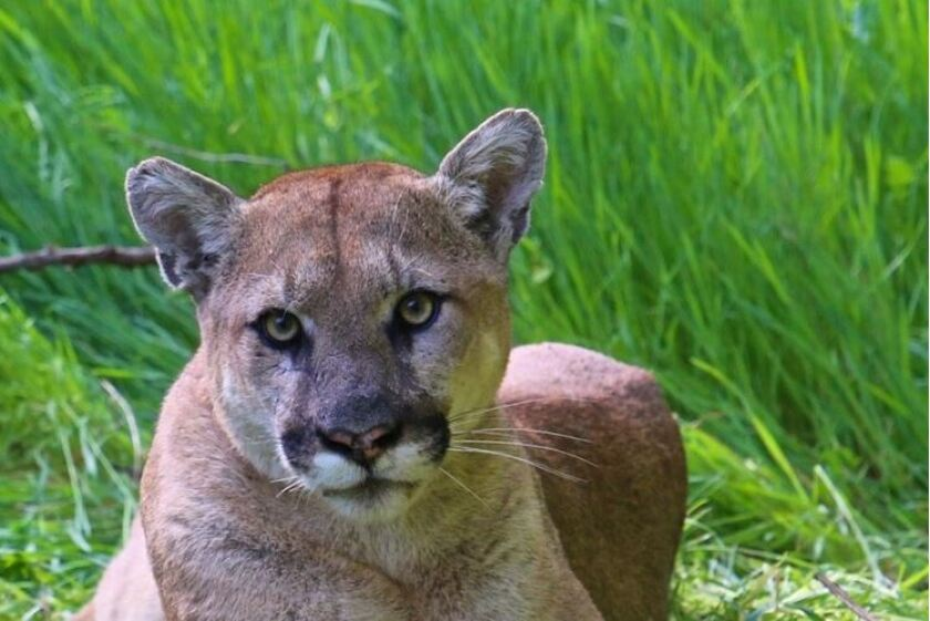 The mountain lion known as P-38 is seen in the Santa Monica Mountains