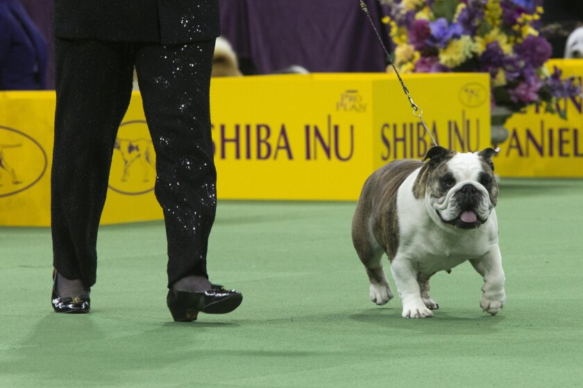 Annabelle, a bulldog, is shown in the ring during the non-spoorting-group competition during the 140th Westminster Kennel Club dog show, Monday, Feb. 15, 2016, at Madison Square Garden in New York. Annabelle won the group. (AP Photo/Mary Altaffer)