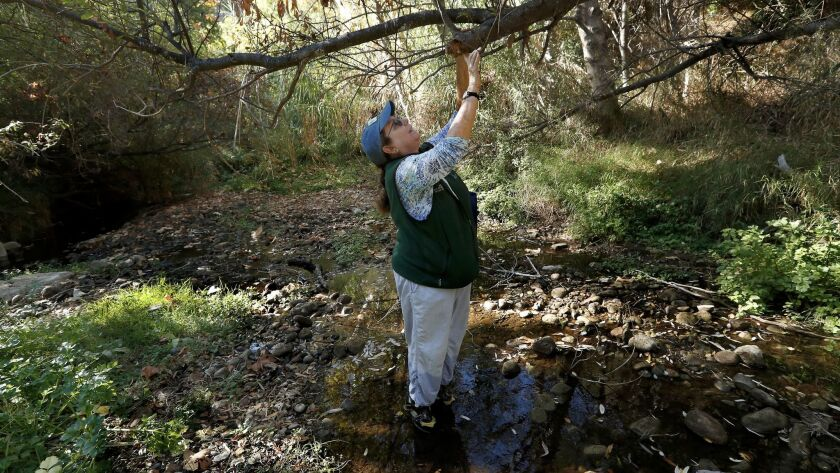 Rosi Dagit points out a willow tree that is dying because of drought and insect infestation in Topanga Creek.