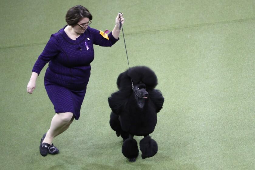 Siba the poodle