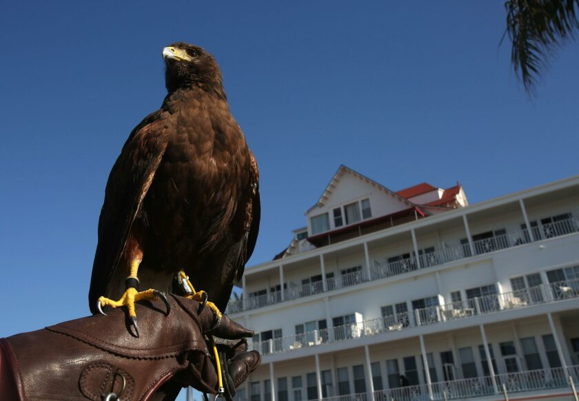 San Diego, CA. February 26, 2016 | Timber, a 5-year-old Harris's Hawk, patrols the Hotel del Coronado for offending sea birds. Falconer Jenn Stephenson of XFalconry, transports Timber to Coronado and lets her fly.