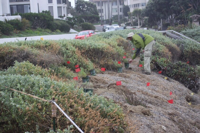 Crews replace plants on the hillside next to the residential area of Coast Boulevard.
