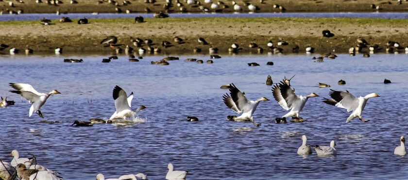 A gaggle of geese lands amid other waterfowl on a pond in the Sacramento National Wildlife Refuge Complex, a series of five refuges dotting the valley of the Sacramento River.