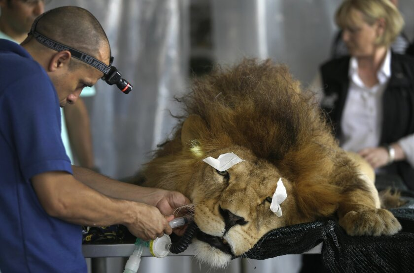 "A former circus lion named ""King"" lays sedated as a veterinarian performs dental surgery, inside a temporary refuge for the lion on the outskirts of Lima, Peru, Friday, Feb. 20, 2015. Vets from the Animal Defenders International (ADI) are operating on lions and monkeys rescued from traveling circus"