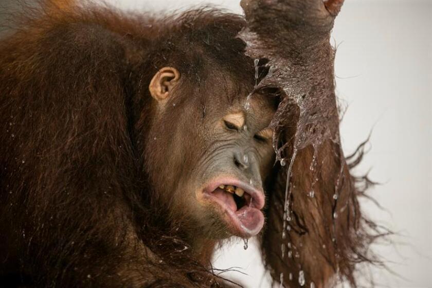 """La reducción generalizada en el número de orangutanes en el mundo que ocurrió hace unos 20.000 años parece estar """"estrechamente relacionada"""" con la aparición de armas de proyectiles que facilitaron la caza de presas arborícolas, según un estudio publicado hoy en la revista Science Advances. EFE/Archivo"""