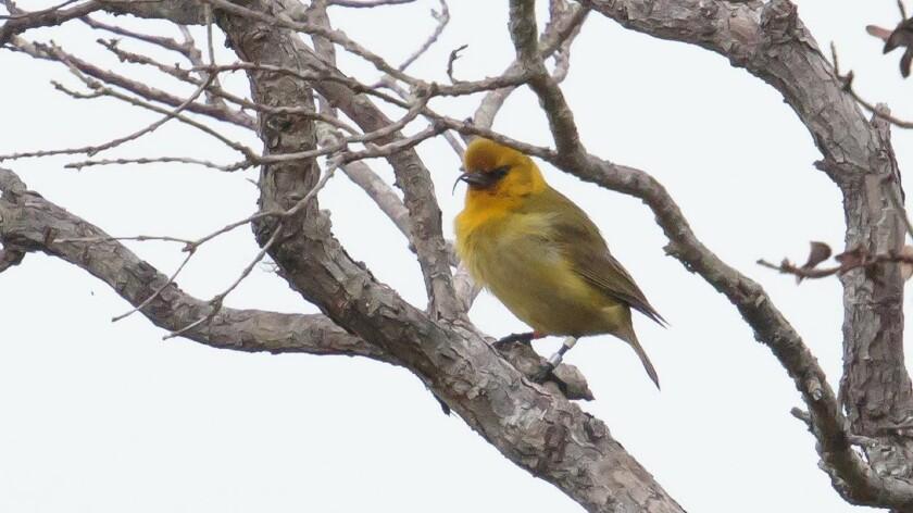 Akiapolaau bird from Hawaii