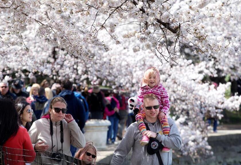 Varias personas caminan entre los cerezos florecidos, hoy, jueves 5 de abril de 2018, durante el Festival Nacional del Florecimiento de Cerezos, en la Cuenca Tidal de Washington (DC, EE.UU.). El festival conmemora un regalo de tres cerezos que en 1912 ofreció el entonces alcalde de Tokio, Yukio Ozaki, a la ciudad de Washington. EFE