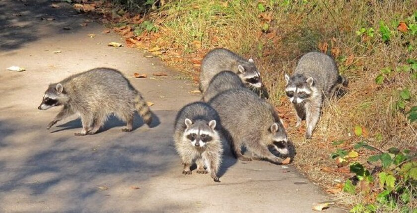 Brain tumors in raccoons linked to newly discovered virus