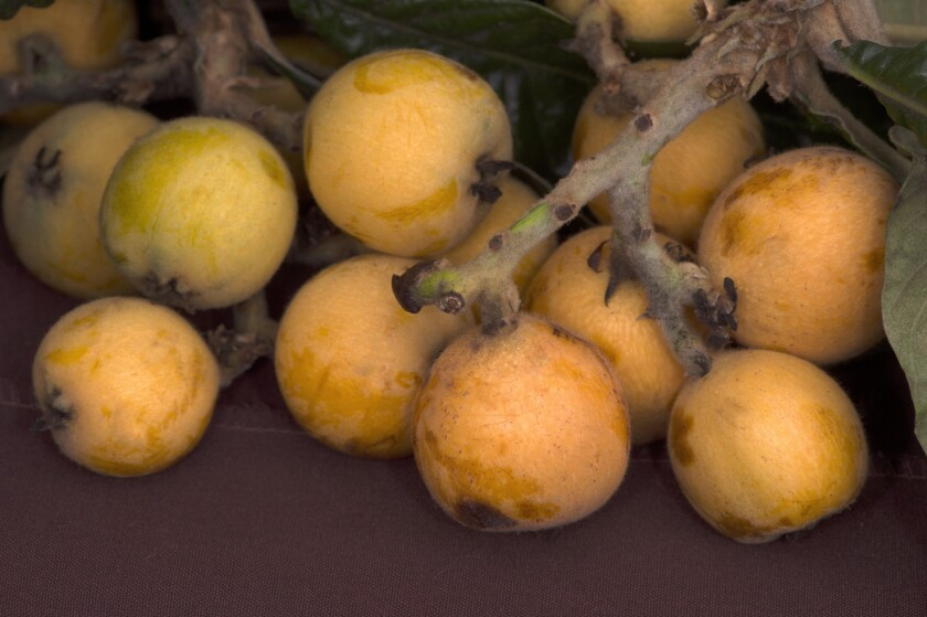 Loquats grown by Margo and Darold McCrary (known as McCrary Bird of Paradise) in Ventura.