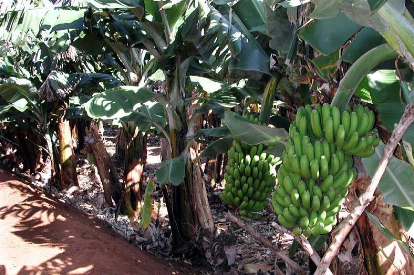 Vista de una planta de plátano en los cultivos de Chiapas, México. EFE/Archivo