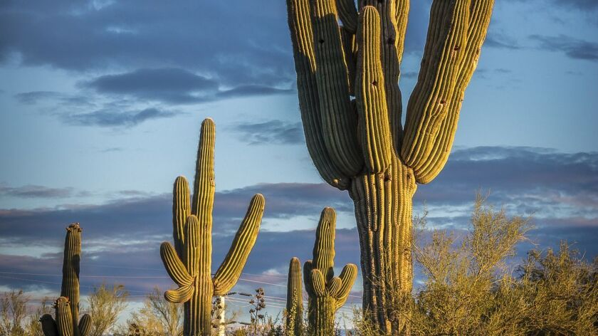 PHOENIX, ARIZONA - The slow growing saguaro cactus that dot the Desert Botanical Garden in Phoenix t