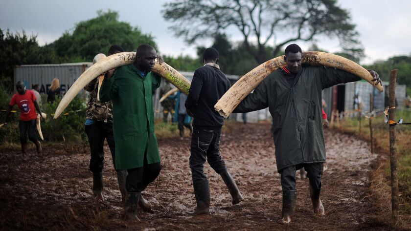 Volunteers carry elephant tusks to a burning site for a historic destruction of illegal ivory and rhino horn confiscated mostly from poachers in Nairobi.