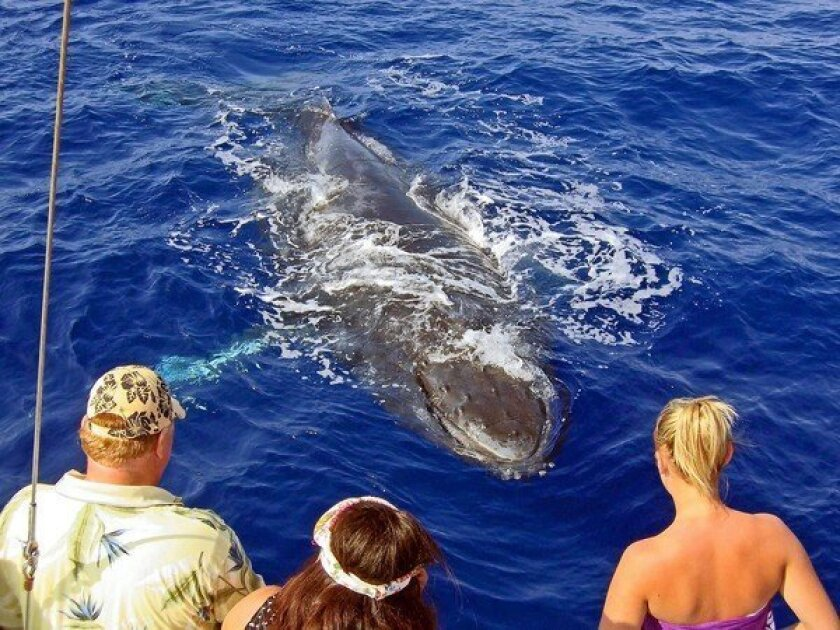 Whale-watching season in Hawaiian waters runs from from early December through mid-April. Cruises are available.