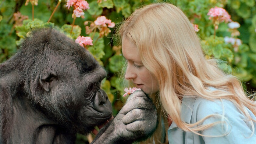 Koko, a western lowlands gorilla, with her longtime friend and custodian, Dr. Penny Patterson.