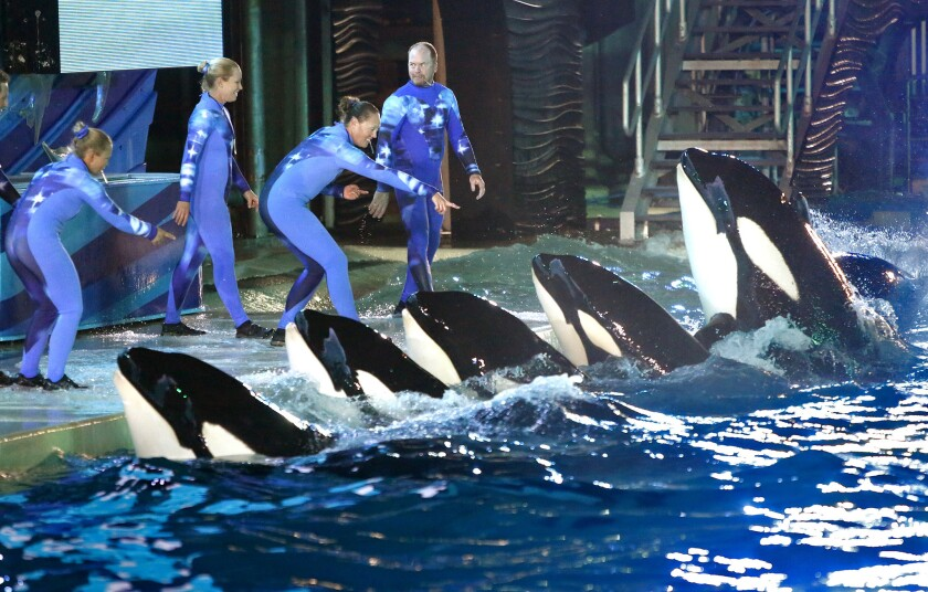"""During a night performance at Shamu Stadium, trainers direct orcas at Sea World, San Diego. In the aftermath of the documentary """"Blackfish,"""" critics have called for an end to keeping the animals captive for entertainment."""