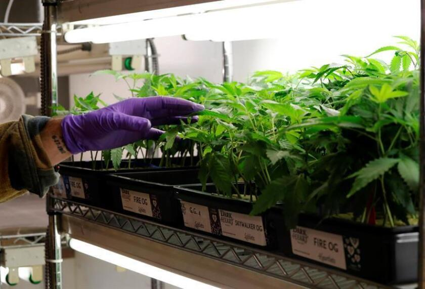 La empresa canadiense de marihuana medicinal Tilray debutó hoy en el índice compuesto del mercado Nasdaq, donde su valor se disparó un 31,71 % tras convertirse en la primera de ese tipo que hace su oferta pública inicial de acciones en una Bolsa estadounidense. EFE/ARCHIVO
