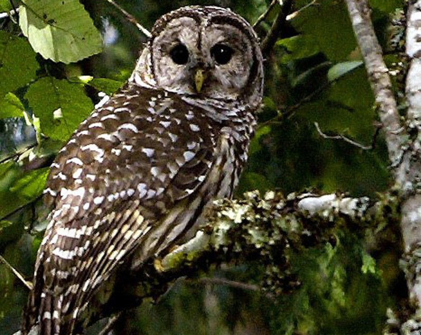 A barred owl is seen near Index, Wash. The federal government is considering killing some of the owls in the Pacific Northwest to aid the smaller northern spotted owl in the area.