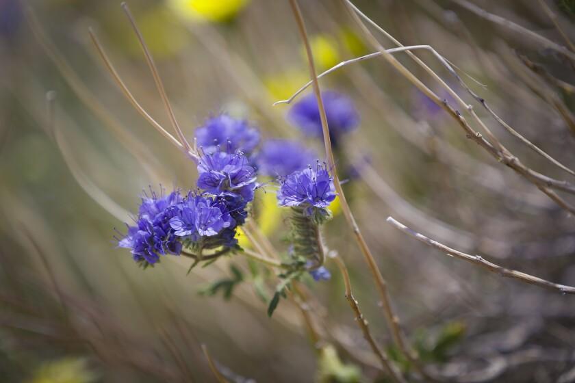 Desert wildflowers