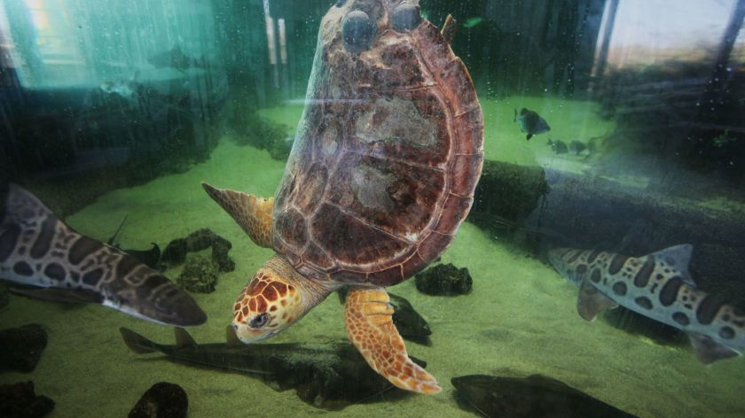 The Living Coast Discovery Center is set to reopen on April, May 1, 2021. Pictured is Sapphire, a loggerhead sea turtle.