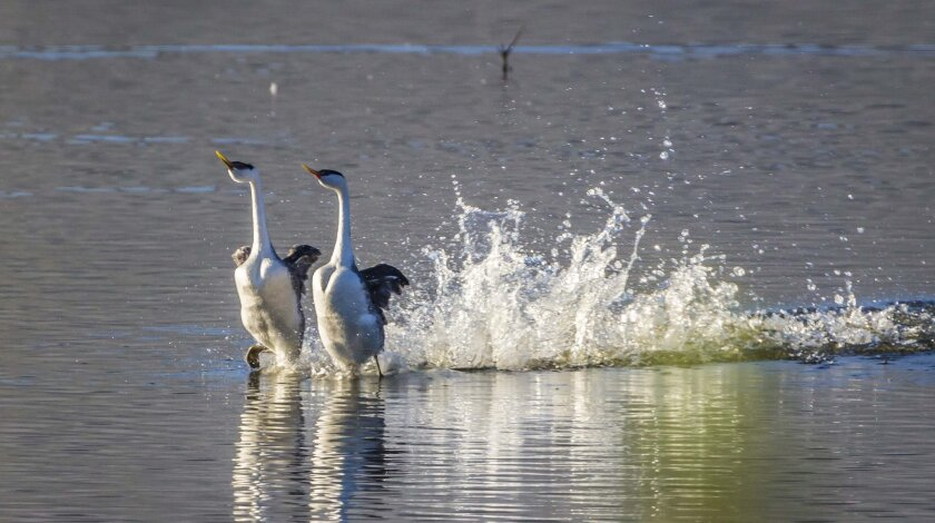 """Birdwatchers visiting Lake Hodges now may get to see the elaborate courting ritual of the Western grebe; it's known as """"rushing."""""""