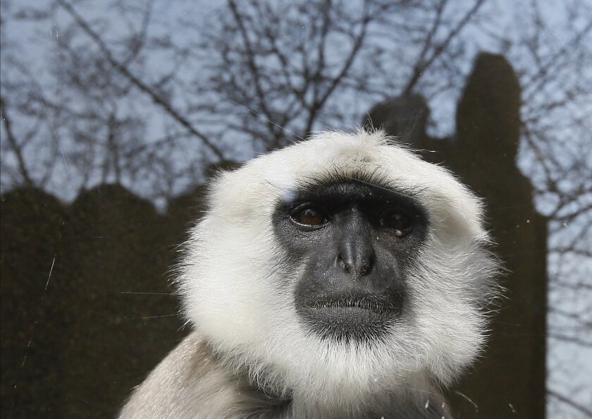 A Hanuman langur monkey looks through a glass enclosure, part of the new Land of the Lions display at the London Zoo, Thursday, March 17, 2016. (AP Photo/Kirsty Wigglesworth)