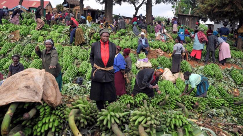 Banana farmers in Kenya