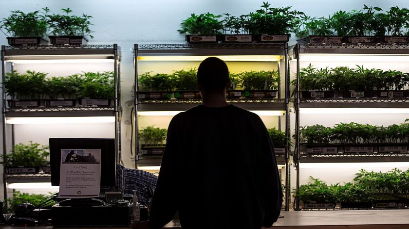 OAKLAND, CA, THURSDAY, NOVEMBER 6, 2014 - Cannabis sprouts on display and for sale in the lobby of t