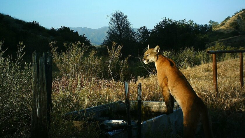 A cougar leans on a watering trough in the Santa Ana mountains in this 2015 photo.
