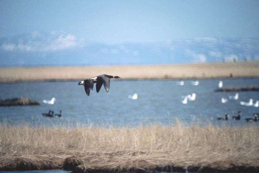 Pacific Brent geese are at the Izembek National Wildlife Refuge.