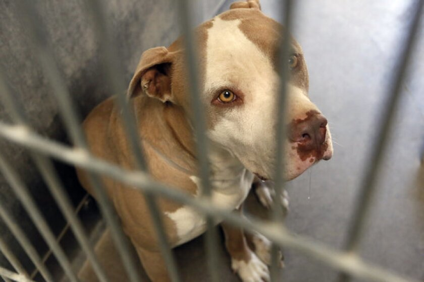 A pit bull seized in vicious dog attack