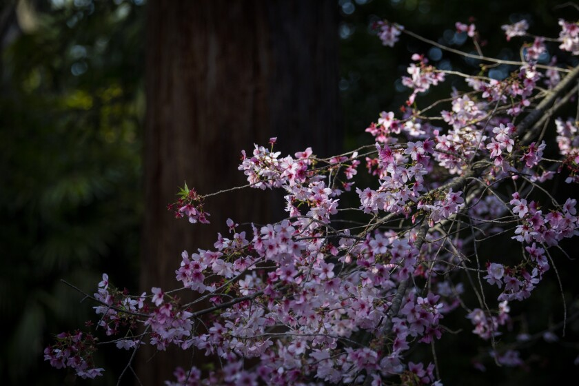 Cherry trees are expected to hit their peak soon at Descanso Gardens.
