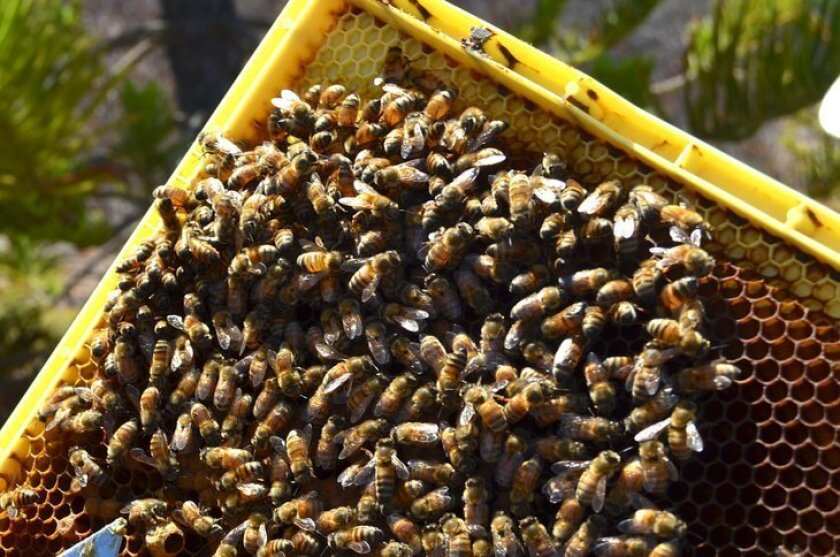 In a trial run, Encinitas will go without pesticides at one of its parks. For now, the city banned spraying neonicotinoid insecticides, which have been implicated in declining bee numbers.