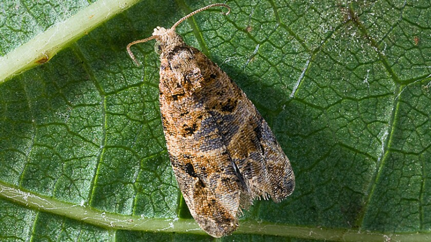 The European grapevine moth, first detected in Napa Valley in 2009, has officially been eradicated statewide, California agricultural officials said Thursday.