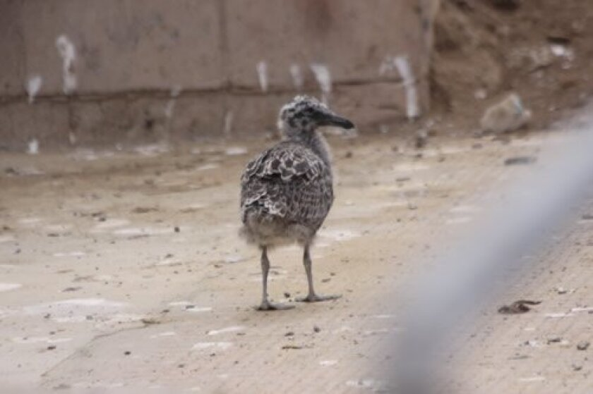 A young seagull unable to fly yet is living in the construction zone at Children's Pool lifeguard tower. Ashley Mackin