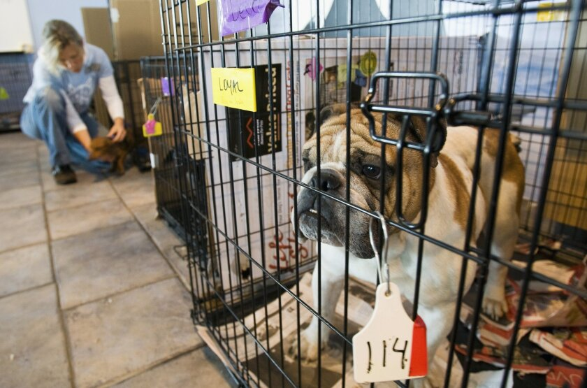 FILE - This Oct. 7, 2008 file photo shows a puppy rescued from a puppy mill, north of Montreal, Canada at the SPCA in Montreal.   The U.S. Department of Agriculture has approved a regulation that will require all puppies imported to the United States to be at least 6 months old, healthy and up to d