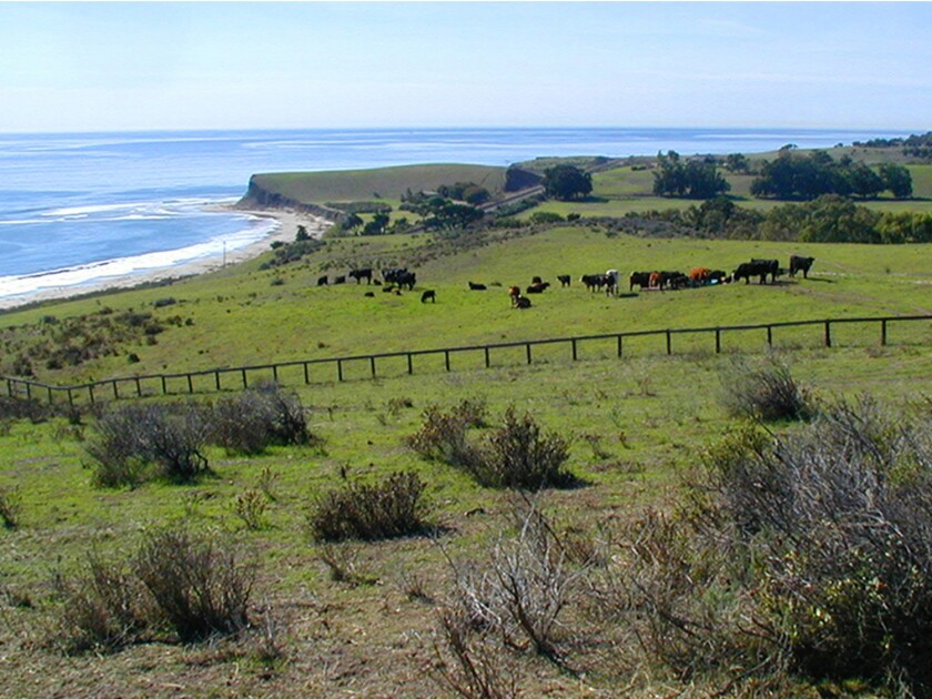 Cattle graze on a portion of the 14,500-acre Hollister Ranch in Santa Barbara County.