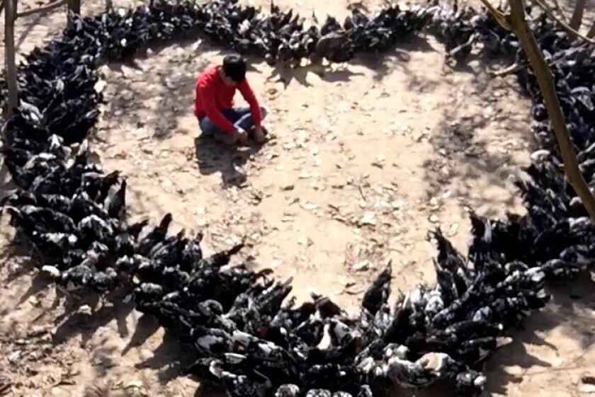A viral moment for Shang Yukang and his chickens