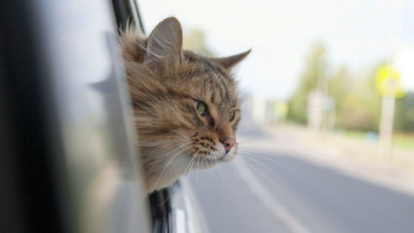 Head Cat out of a car window in motion. summer ** OUTS - ELSENT, FPG, CM - OUTS * NM, PH, VA if so